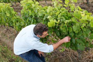 Vigneron accroupi au milieu des vignes